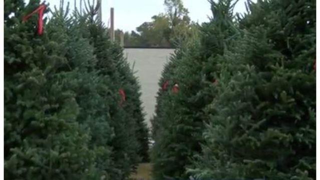 Wildfires putting future of NC Christmas trees at risk