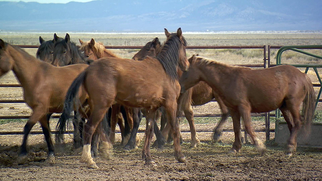 Big federal wild horse roundup planned