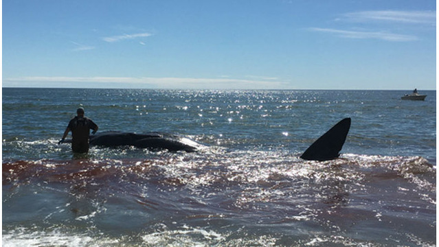 Sperm whale washes up on NC beach