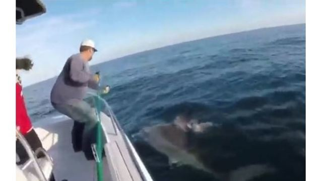 RAW VIDEO: 16-foot great white shark caught off Hilton Head
