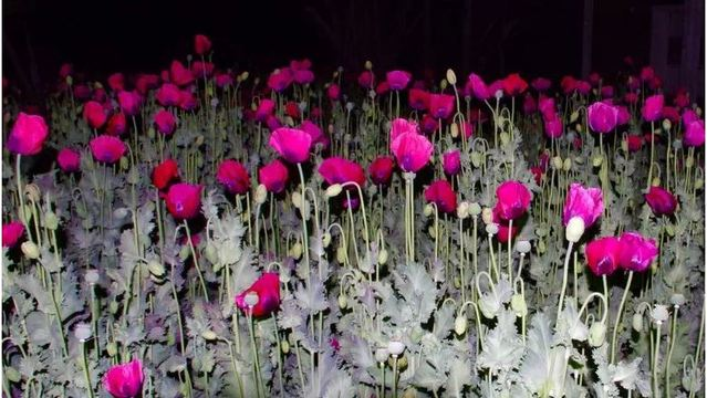 2 fields of opium poppies found in rare NC drug bust