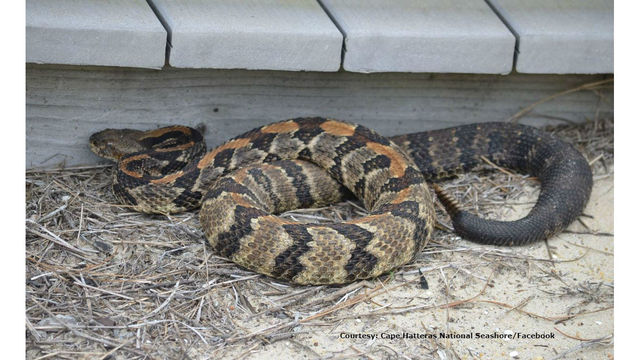 Park service at Outer Banks issues warning about venomous rattlesnakes