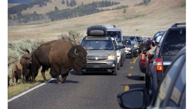 Bison gores woman in 3rd Yellowstone animal attack in a week