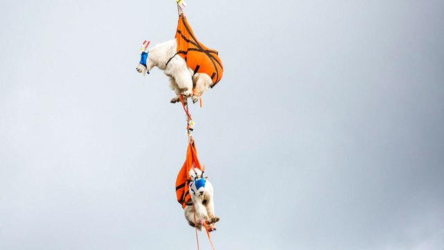 Goats addicted to human urine airlifted out of national park
