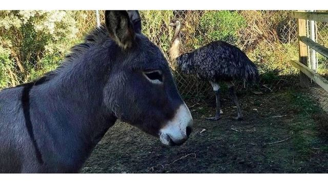 Rescued 6-foot emu and feisty donkey are in love, creating trouble for NC shelter
